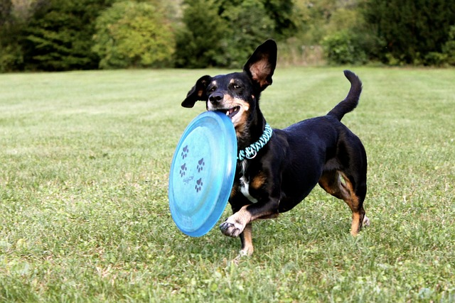 jezevčík s frisbee.jpg